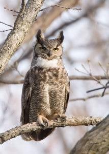 Great Horned Owl - Karl Egressy