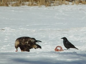 Golden Eagle (left) & Common Raven  (Tim Dyson)