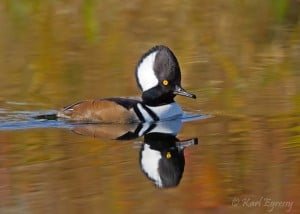 Male Hooded Merganser (Karl Egressy)