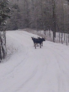 Moose on McCoy Bay Road (Jackie Lean)