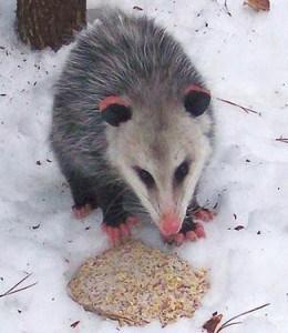 Virginia Opossum in Ennismore - 2011