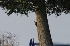 Pileated Woodpecker (Karen Cooper)