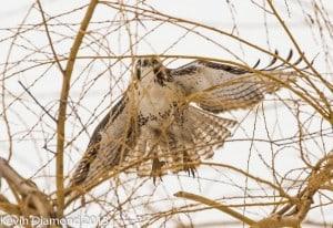 Red-tailed Hawk 2 - Dec. 2013 - Kevin Diamond