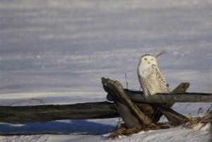 Snowy Owl (Jeff Keller)