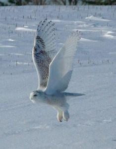 Snowy Owl in flight -  Wendy Leszkowicz