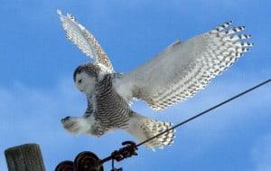 Snowy Owl in flight – Wendy Leszkowicz