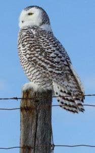 Snowy Owl - Wendy Leszkowicz