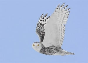 An immature Snowy Owl in flight - probably a female (Karl Egressy)