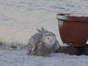 Snowy Owl at Fowler's Corners several years ago (Bob Hancock)