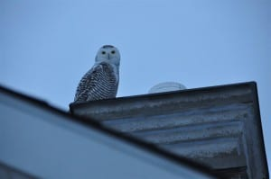 Snowy Owl on our roof - Teresa Gall