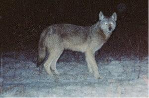 Eastern Wolf - Gord Harrison