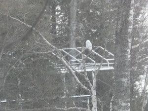 Clear Lake Snowy Owl - John McGregor