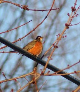 Winter robin (Liane Edwards)