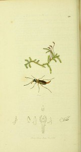 Wingless scorpion fly