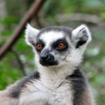 modern Lemur - possibly similar to my 45 million-greats-grandfather