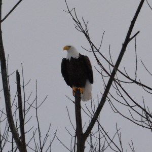 Woodland Drive Bald Eagle - Bill Astell