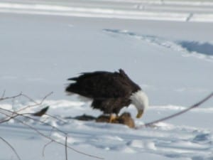 Bald Eagle on deer carcass - Val Roberts
