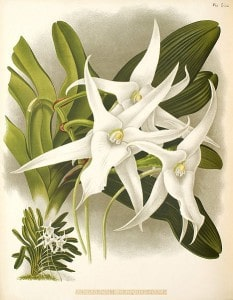 Darwin's Orchid with long spike (spur)