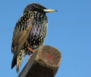 European Starling in winter plumage (white spots)