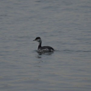 Horned Grebe (winter plumage)  Wikimedia