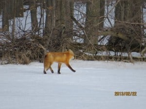 A Sunday morning Red Fox - Michael Gillespie