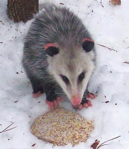 An opossum photographed in Ennismore several years ago