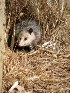 Opossum on Johnston Drive, south of Peterborough - Mary Beth Aspinall - Feb. 2014