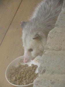 Opossum eating kibble we put out - Mary Beth As