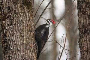 Pileated Woodpecker - Jeff Keller - Feb. 8 2014