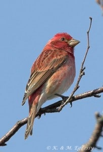 Purple Finch (male) - Karl Egressy
