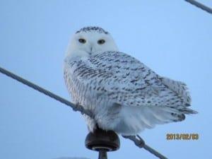 Snowy Owl - Michael Gillespie