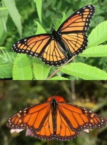 Viceroy (above) and Monarch. Notice the