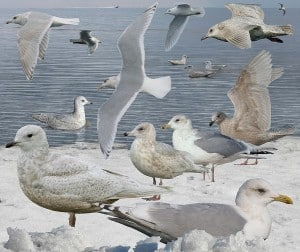 Iceland Gull (Crossley Guide) First winter bird is lower left. Some are browner.