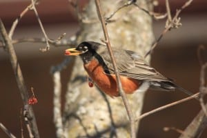 American Robin in mountain-ash March 2014 - Jeff Keller