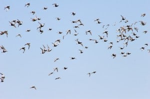 Black-bellied Plovers near Point Pelee IBA - Mike Burrell