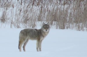 Eastern Coyote on Otonabee River - Tom Northey.