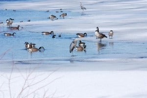 Waterfowl at Little Lake at spring ice-out