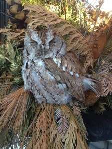 Eastern Screech-owl - Beaches area of Toronto - sister-in-law of Jamie Brockley