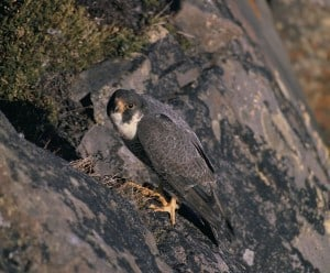 Peregrine at nest USFWS