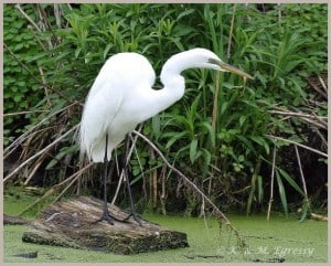 Great Egret - Karl Egressy