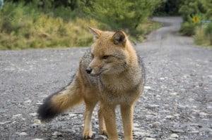 Grey Fox (Wikimedia)