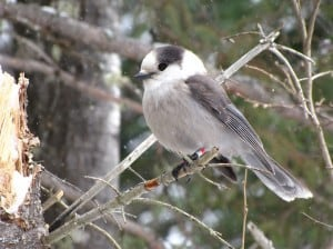 Gray Jay -Tom Northey Algonquin Park - March 2014
