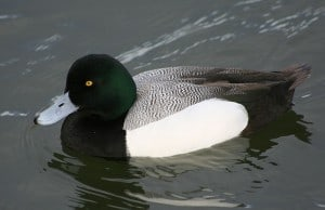 Greater Scaup (male) photo from Wikimedia