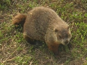 Groundhog - Wikimedia