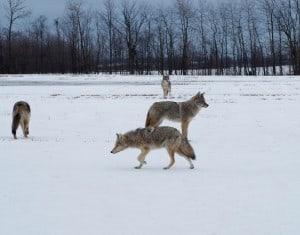 Coyotes in field on Stewart Line (Randy Therrien)