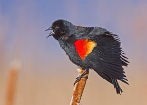 Red-winged Blackbird   by Karl Egressy