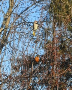 Northern Flicker and American Robin -Sue-Paradisis