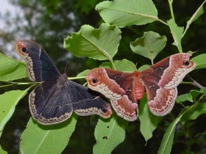 Promethea male (left) & female - Tim Dyson