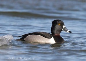 Ring-necked Duck - Karl Egressy