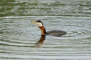 Red-necked Grebe in breeding plumage (Wikimedia photo)